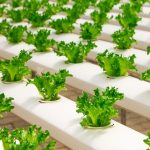 MAGICAL BENEFITS OF HYDROPONICS IN YOUR GARDEN