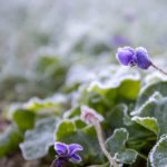 How to protect the garden from freezing frost?