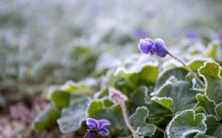 frosts in the spring garden